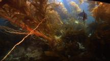 Kelp Forest At San Miguel Island