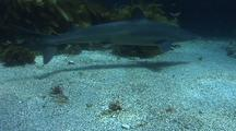 Soupfin Shark Swims Around