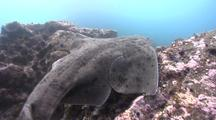 Surprised Angel Shark Unburies Itself