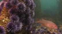 Sea Urchins On Rocky Reef