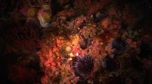 Reef Overview With Sea Urchin