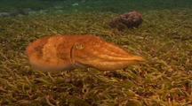 Cuttlefish Swimming Along Reef