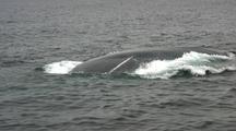 Blue Whale Bubble Net Feeding
