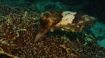 Cuttlefish Laying Eggs In Coral Head
