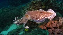Cuttlefish Display Mating