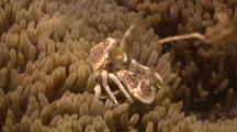Porcelain Crabs
