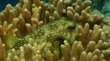 Pufferfish Hiding In Coral