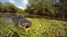Alligator In Swamp Bites Camera