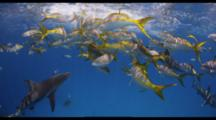 Reef Sharks And Yellowtail Snappers Gather Near Surface