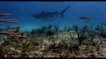 Tiger Shark And Lemon Shark On Shallow Reef