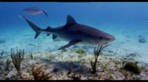 Tiger Shark With Remoras Swims Over Shallow Reef