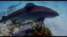 Tiger Shark With Remoras Swims Over Shallow Reef To Sand