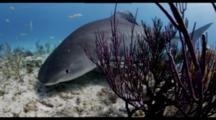 Tiger Shark And Lemon Shark On Shallow Reef, Tiger Shark Very Close
