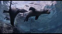 Slow Motion, Sea Lions Swim Above Shallow Rocky Reef, Baja California