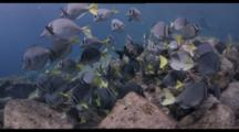 Slow Motion, Yellowtail Surgeon Fish School Swim Above Shallow Rocky Reef, Baja California