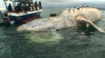 People In Boat Observe Great White Sharks Feeding On Dead Southern Right Whale - South Africa