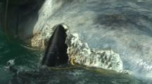 Great White Sharks Eat Dead Southern Right Whale - South Africa - Cape Town - Gansbaai