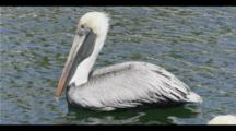 small Group Of Pelicans