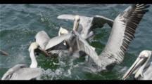 Slow Motion,Pelicans Fight Over Food