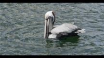 Slow Motion,Pelican Swallows Food