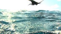 Split Shot, Frigate Birds And Sailfish Hunting Baitballs - Isla Mujeres Mexico