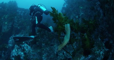 diver and free swimming moray eel in Kelp Forest