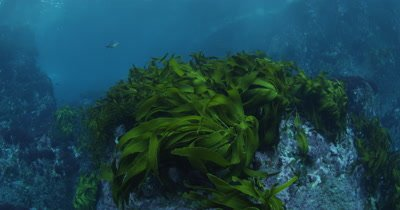 travel over Kelp Forest and rocky reef