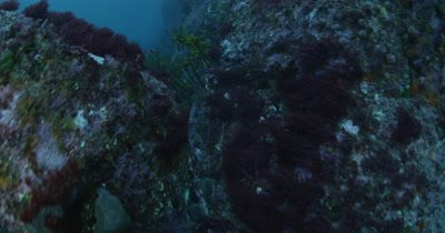 Kelp over rocky reef,kelp forest and sea urchins