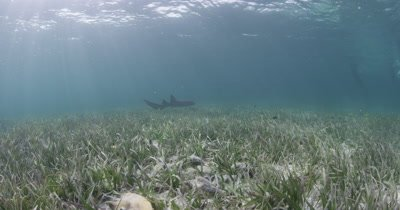 Shark Swims Over Sea grass Bed