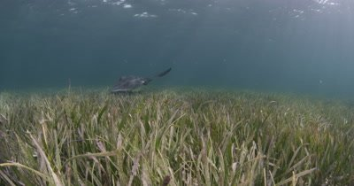 Travel Over Seagrass Bed,Disturb School of Fish and Ray