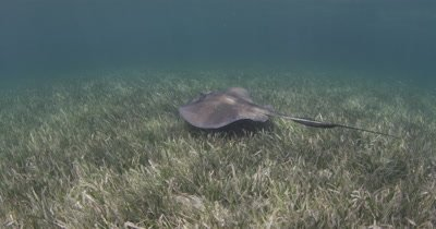 Follow Ray Over Seagrass Bed