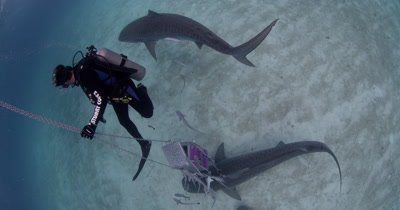 Diver with bait Swims With Tiger Sharks,Bahamas