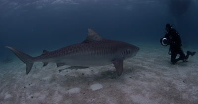 Divers Swim With Tiger Sharks,Bahamas