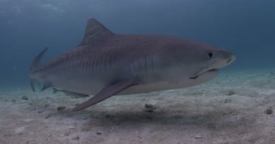 Tiger Shark with hook in mouth passes Over Sand Bottom,Bahamas