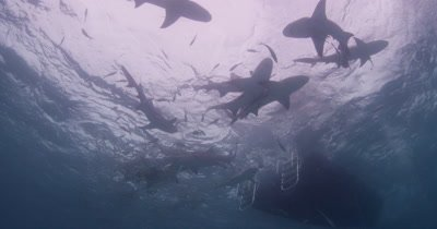 Looking up at Tiger Sharks circling behind dive boat