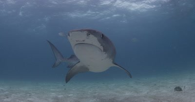Tiger Shark turns in front of camera Over Sand Bottom,Bahamas