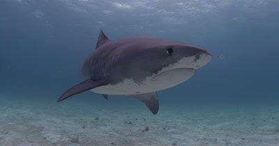 Tiger Shark turns in front of camera,Bahamas