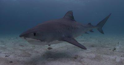 Tiger Shark Over Sand Bottom,Bahamas