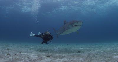 Divers Swim With Tiger Sharks,Bahamas