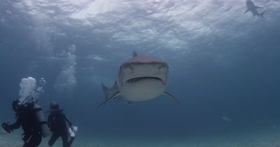 Tiger Shark swims directly at and over camera,fiver in background