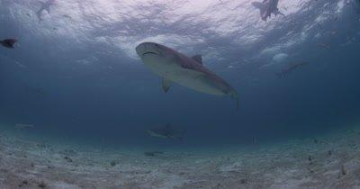 Tiger Sharks Over Sand Bottom,Bahamas