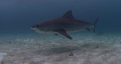 Diver Watches Tiger Shark Swim Over Sand Bottom,Bahamas