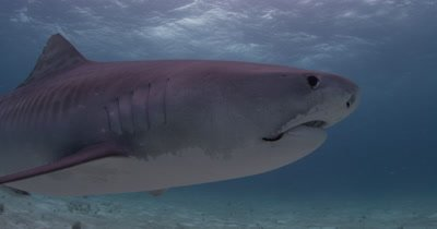 Tiger Shark with hook in mouth passes closely,Bahamas