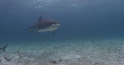 Tiger Shark Swims Over Sand Bottom,Bahamas
