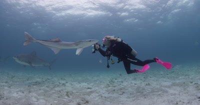 Diver Swims With,photographs Tiger Sharks,Bahamas