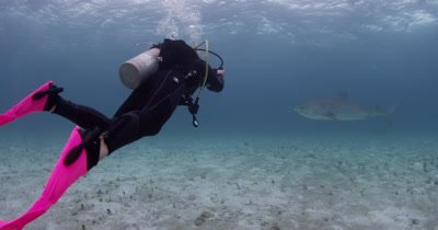 Diver Swims With,photographs Tiger Sharks,Bahamas