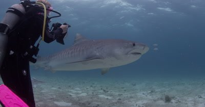 Diver Swims With,photographs very close Tiger Sharks,Bahamas