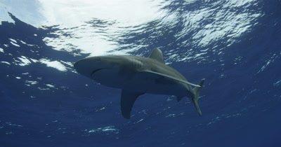 Oceanic White Tip Shark Swims Overhead