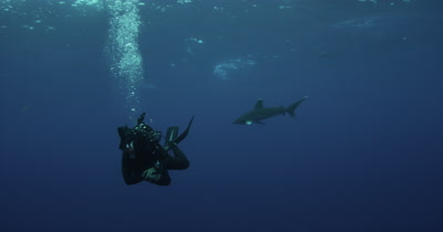 Diver and Oceanic White Tip Shark Swims In Blue Water
