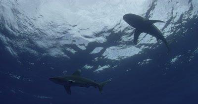 Oceanic White Tip Shark Swim Overhead In Blue Water